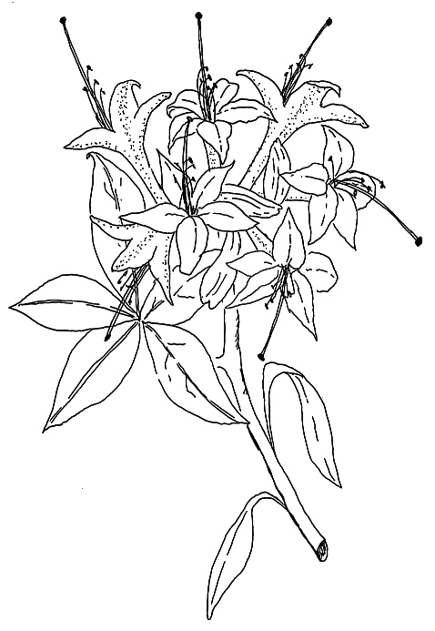 Honeysuckle Flower Line Drawing : Qbars v n species rhododendrons before