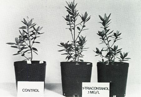 Comparison of treated and untreated plants.