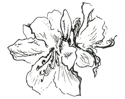 Pink Rhododendron Drawing Drawing by Muriel Van Veen